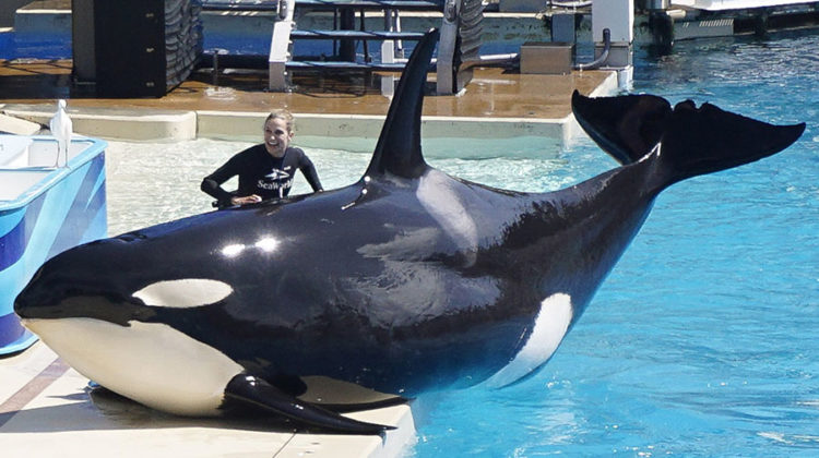 A SeaWorld trainer rubs one of the killer whales during a performance at SeaWorld San Diego. SeaWorld has been criticized for their mistreatment of animals. Photo provided by Tribune Content Agency.