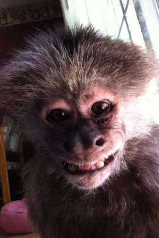 Indy smiles for the camera.  Montella has grown up with Indy and the monkey has been a major part of her life. Picture submitted by Jessica Montella (11).